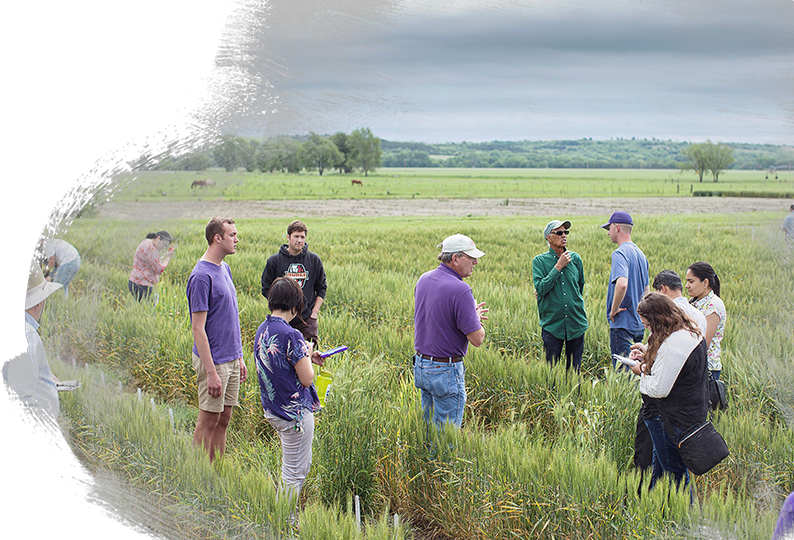 K-State Students Doing Wheat Research