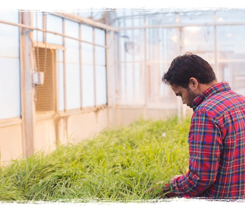 Greenhouse Researcher at K-State