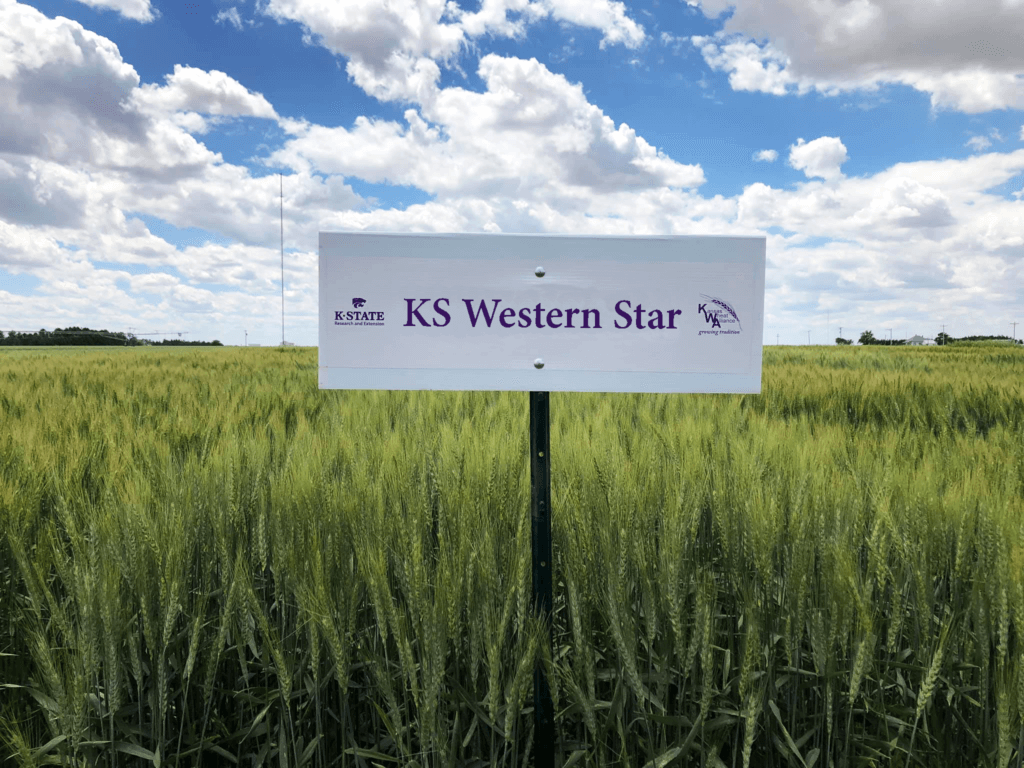 Image: KS Western Star wheat growing in field.